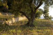An Olive Grove at Sunrise