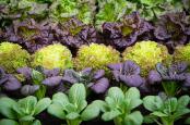 Lettuce on show