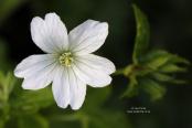 Geranium nodosum 'Wreighburn House White'