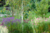 Betula with Autumn Asters