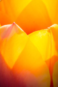 Sun busting through tulip petals