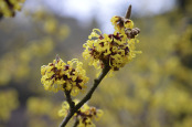 Hamamelis x intermedia 'Advent'