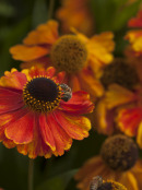 Helenium Flame Orange