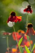 Morning dance with Helenium 'Moerheim Beauty'