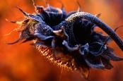 Helianthus annus