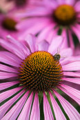 Coneflower - leading lines