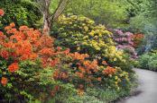 Birmingham Botanical Gardens rhododendron walk