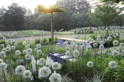"""Sunrise in Fenna´s allium garden"""