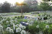 """Sunrise in Fenna´s allium garden"""