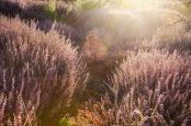 Calluna vulgaris at sunrise
