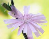 Chicory intybus roseum