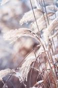 Miscanthus in winter
