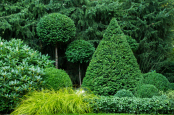 Clipped evergreen Taxus and Buxus topiary