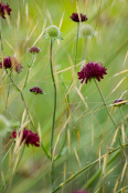 Knautia macedonica and Stipa gigantea