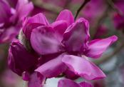 February Magnolia 'Lanarth'