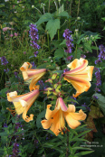 Lilium 'African Queen' and Nepeta 'Chettle Blue'
