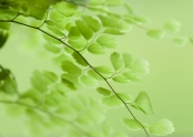 Maidenhair_fern_frond
