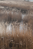 Reed beds on Suffolk Coast