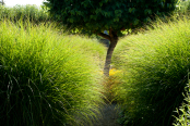 Miscanthus sinensis with mulberry