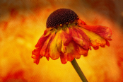 Helenium on textured background