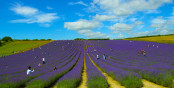 West Sussex lavender field