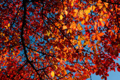 An Autumn Canopy