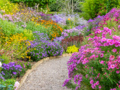Asters provide a tiered colour pallete along the gravel path