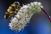 Sanguisorba with hoverfly