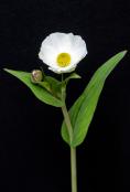 Ranunculus amplexicaulus