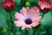 Osteospermum 'Serenity Rose Magic'
