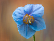 Himalayan Poppy on textured background
