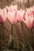 Tangled Tulips