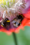 Papaver somniferum with bumblebees