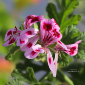 Pelargonium 'Fair Ellen'