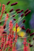 Persicaria 'Firedanse' and Sanguisorba 'Red Thunder'
