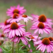 Echinacea purpurea 'Sensation Pink'