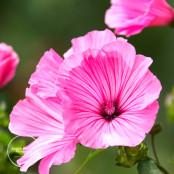 Pink Lavatera