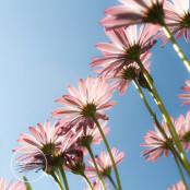 Pink Osteospurmum