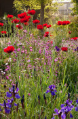 Poppies, irises and campion