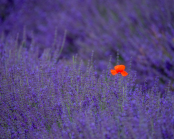 Poppy in lavender