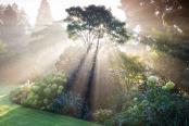 Acer griseum in mist