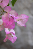 Bougainvillea after a storm