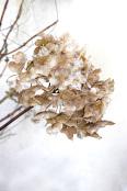 Hydrangea flowerhead, Christmastime