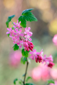 Winning image of the month March 2017.Ribes sanguineum 'Pulborough Scarlet'