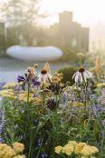 Echinacea at dawn