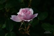 Rosa 'Estima'