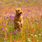 Terrier in the Wildflower Meadow