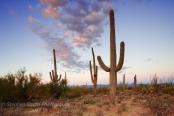 Saguaro cacti (Cereus giganteus)