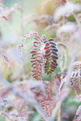 Sorbus setschwanensis touched by frost