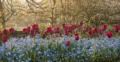 Tulipa 'Ile de France'